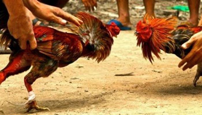 Tips dan Saran Bermain Sabung Ayam
